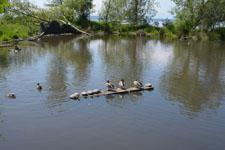 バラードの池のカモの画像002