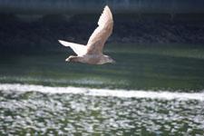 バラードの水路のカモメの画像002