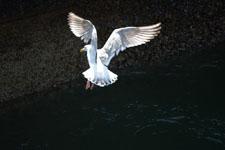 バラードの水路のカモメの画像008