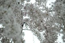 うだつの町並みの桜の画像002