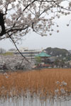 不忍池と満開の桜の画像004