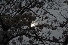 上野恩賜公園の満開の桜の画像009