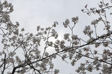 上野恩賜公園の満開の桜の画像011