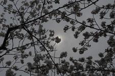 上野恩賜公園の満開の桜の画像013