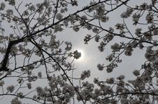 上野恩賜公園の満開の桜の画像019
