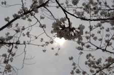 上野恩賜公園の満開の桜の画像022