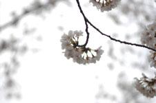 上野恩賜公園の満開の桜の画像025