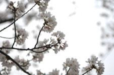 上野恩賜公園の満開の桜の画像026