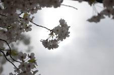 上野恩賜公園の満開の桜の画像034