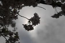 上野恩賜公園の満開の桜の画像036
