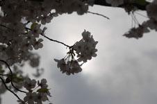 上野恩賜公園の満開の桜の画像039