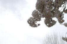 上野恩賜公園の満開の桜の画像046