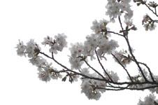 上野恩賜公園の満開の桜の画像047