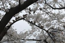 満開の桜とスズメの画像001