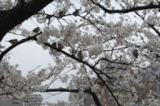 満開の桜とスズメの画像002