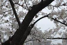 満開の桜とスズメの画像003