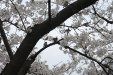 満開の桜とスズメの画像004