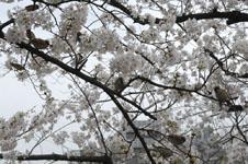 満開の桜とスズメの画像005