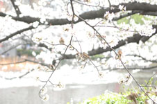 満開の桜とスズメの画像006