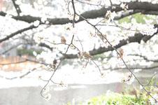 満開の桜とスズメの画像007