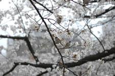 満開の桜とスズメの画像008