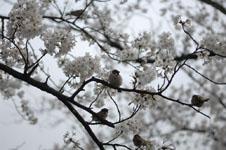 満開の桜とスズメの画像009