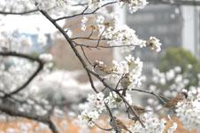 満開の桜とスズメの画像010