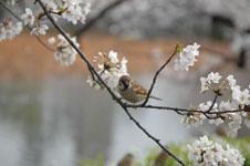 満開の桜とスズメの画像011