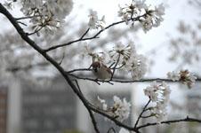 満開の桜とスズメの画像012
