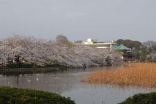 不忍池と満開の桜の画像008