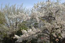 上野恩賜公園の満開の桜の画像064