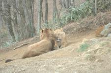 富士サファリパークのライオンの画像001
