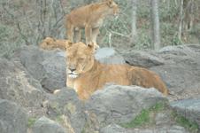 富士サファリパークのライオンの画像002