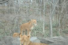 富士サファリパークのライオンの画像003