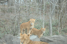 富士サファリパークのライオンの画像004