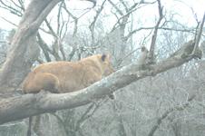 富士サファリパークのライオンの画像005