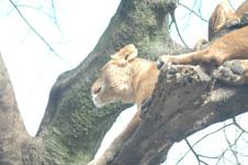 富士サファリパークのライオンの画像006