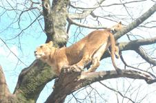 富士サファリパークのライオンの画像008