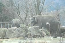 富士サファリパークのゾウ