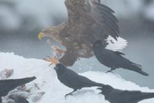 流氷とオジロワシの画像006