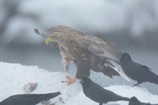 流氷とオジロワシの画像007
