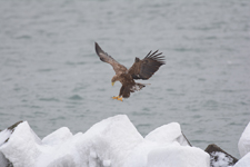 流氷とオジロワシの画像115