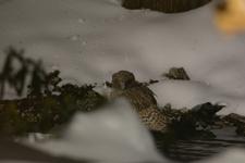 中標津のシマフクロウの画像007