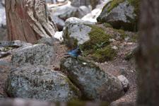 ヨセミテ国立公園のカケスの画像001