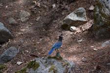 ヨセミテ国立公園のカケスの画像002