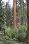 ヨセミテ国立公園のメタセコイアの画像006