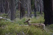 ヨセミテ国立公園の鹿の画像001