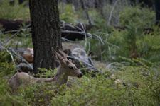 ヨセミテ国立公園の鹿の画像002