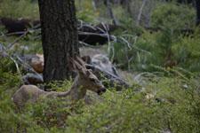ヨセミテ国立公園の鹿の画像003