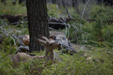 ヨセミテ国立公園の鹿の画像004